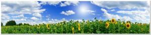 Golden sunflowers plantation.